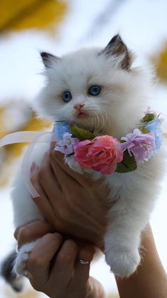 Cute Baby Cats, Cute Cats And Kittens, Kittens Cutest, Baby Pugs, Adorable Babies, Cool Cats, Pretty Cats, Beautiful Cats, Animals Beautiful