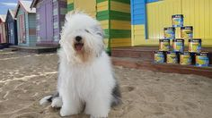The Dulux Dog is an Old English sheepdog. Picture: Ian Currie