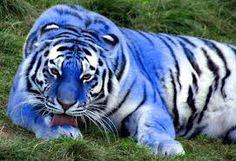 """NOPE- blue tigers are hypothetical never documented as anything other than sightings """"*MALTESE TIGER ~ I've never seen these beautful blue maltese tigers before. The Maltese tiger, or blue tiger, is a sub species coloration morph of a tiger"""" Rare Animals, Animals And Pets, Funny Animals, Beautiful Cats, Animals Beautiful, Maltese Tiger, Pet Tiger, Big Cats, Cats And Kittens"""