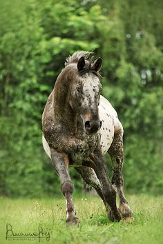 Appaloosa with an interesting tone. Colour shift? -Nix Alba