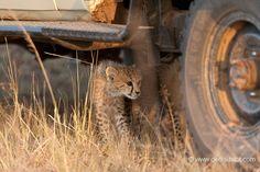 Baby cheetah exploring a Jeep | La Galerie - Christine et MichelDenis Huotphotographes animaliers - - bébé guépard et safari - 80165