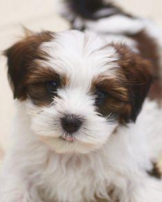 Baby Barks: Bichon Shih Tzu Breeder  Shichon, Zuchon puppies