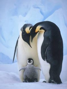 Emperor Penguins with Chick Photographic Print by Tim Davis - Tiere - Cute Baby Animals, Animals And Pets, Funny Animals, Nature Animals, Penguin Love, Cute Penguins, Penguin Craft, Penguin Baby, Penguin Pictures