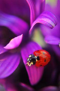 Ladybug Colors