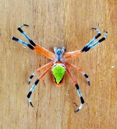 funnywildlife: Eriophora nephiloides Spider Source