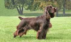 Field Spaniel. They are members of the sporting group. They are great hunting dogs. They stand at 17-18 inches at the shoulder and weigh about 40-55 pounds.