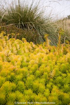 Sedum rupestre 'Angelina' yellow foliage hardy succulent groundcover with grasses in drought tolerant California garden