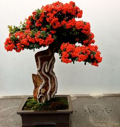Voici une petite série avec des arbres qui font parti des plus beaux bonzais du monde: pommier, cerisier, bougainvillier, lilas, glycine, sequoia,...