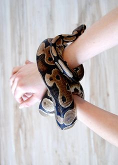 Oh the beauty and sweetness of the Ball python