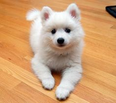 Japanese Spitz. Saw one of these little friends at the blue angles show.. I must have one!