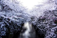 17 Magical Pics Of Japan's Cherry Blossom By National Geographic Cherry Blossom Pictures, Cherry Blossom Japan, Cherry Blossom Season, Cherry Blossoms, National Geographic Images, Blossom Trees, Photos Du, Natural Wonders, Natural World