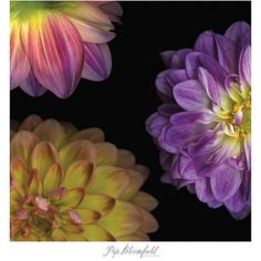 Purple Dahlia I Print by Pip Bloomfield at Art.com Paredes 714c600dc067