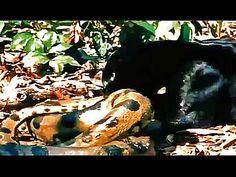 Jaguar Negro Mata a Anaconda