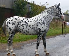Knabstrupper (Classical type) stallion Pinocchio Middelsom