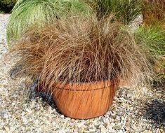 Carex comans Bronco Color Grass from Santa Rosa Gardens - New Zealand Hair Sedge