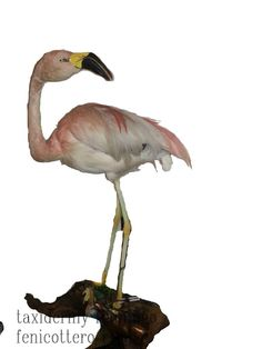 taxidermy flamingo pink. rare taxidermy bird flamingo pink cites 1988