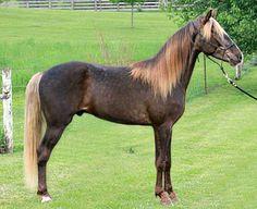 Rocky Mountain Horse gelding, High Mountain Stepper.