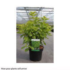 Philadelphus coronarius 'Aureus' (Large Plant) - Shrubs - Thompson & Morgan
