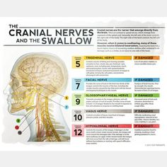 The Cranial Nerves and the Swallow - Dysphagia therapy - Speech Language Pathology - SLP Insights Speech Language Therapy, Speech Language Pathology, Speech And Language, Sign Language, Facial Nerve, Foto Transfer, Cranial Nerves, Speech Therapy Activities, Oral Motor Activities