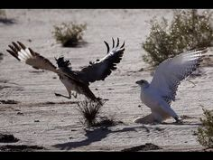 Falcon attacks houbara bustard!!!