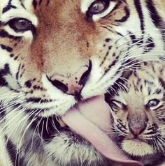 Elinkes tijger