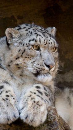 snow leopard, lie, predator, big cat