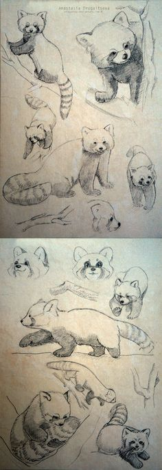 Red Panda sketches by Stasushka.deviantart.com on @deviantART