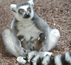 Baby ring-tailed lemurs, Willow and Jack. March 2014.   #cutealert #lemur #torontozoo #animals #cute #babyanimals
