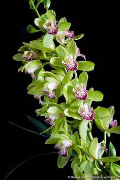 Lees meer over de Cymbidium orchidee