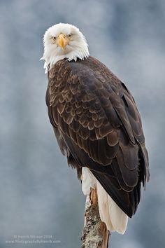 Gotcha by Henrik Nilsson on - Bald Eagle Pretty Birds, Beautiful Birds, Animals Beautiful, Cute Animals, Where Eagles Dare, Eagle Pictures, Mundo Animal, Big Bird, Nature Animals