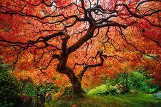 Erable japonais. Autumn.