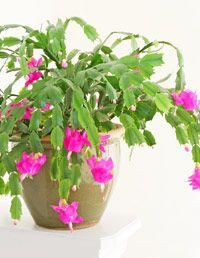Golden pothos epipremnum aureum low light to bright for Low maintenance indoor flowering plants
