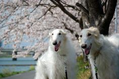 beautiful borzoi dogs - part of the hound group