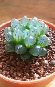Αποτέλεσμα εικόνας για succulents