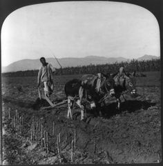 A Chinese Farmer Turning The Soil With A Wooden Plow Drawn By Donkeys c1907