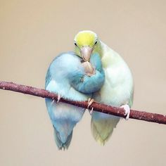 Bird Photography Captures the Love Between Pacific Parrotlets Funny Birds, Cute Birds, Pretty Birds, Small Birds, Colorful Birds, Beautiful Chickens, Most Beautiful Birds, Animals And Pets, Cute Animals