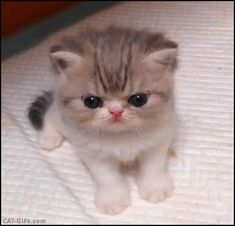 KITTEN GIF • Hyper cute Persian like Kitten crying She just wants cuddles and tenderness