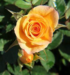 Orange Parade Rose Orange, Garden, Flowers, Plants, Garten, Lawn And Garden, Gardens, Plant, Gardening