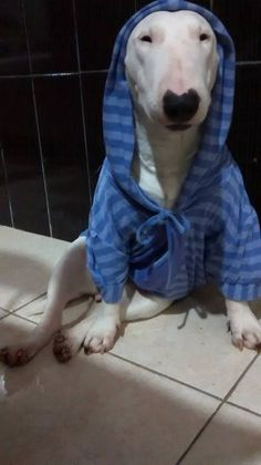 Bully with a Hoodie.