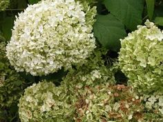 Annabelle Hydrangea via About.com's When to Cut Hydrangeas for Drying --- Not sure if I'd rather have pink or blue, but I love the white because they turn to such a pretty shade of green...