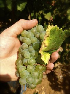 Gli ultimi grappoli del nostro #chardonnay sono stati raccolti. #vendemmia2103 #settesoli #menfi #vinobianco #sicilia The last bunches of our #chardonnay have been harvested. #harvest #wine #menfishire #sicily