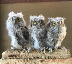Owl, Animals, Horned Owl, Owl Babies, Villach, Eagle, Animales, Animaux, Owls