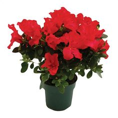 Keepsake Azalea Scarlet http://www.guide-to-houseplants.com/azalea-care.html