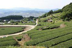 嬉野茶畑  Ureshino tea-plantation
