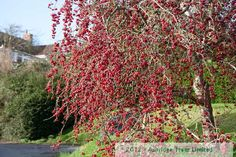 Malus Red Sentinel Crabapple Trees for Sale | Buy Online
