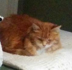 Lost Cat - Domestic Medium Hair - Hamilton, ON, Canada L8P 4C4