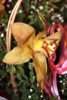 """La Orquídea de oro, belleza dorada  La Orquídea de Oro o Gold Orchid es una de las flores tristemente en peligro de extinción y un nuevo ejemplo del Top 5 de las flores más caras del mundo. Sólo se puede encontrar en la isla de Borneo, ubicada en Malasia. Sus hojas producen una especie de """"partículas de oro"""" que pueden vivir sin estropearse hasta quince años."""