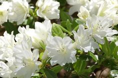 Only White Azalea that Blooms Spring, Summer and Fall - Want more blooms, more often?   Autumn Angel™ gives you elegant, white blooms for up to 9 months a year!  Few shrubs can compliment your home better or give it a richer look. Pure white flowers stand out against it's deep evergreen foliage.  Encore Azaleas® keep their leaves, where other Azaleas...
