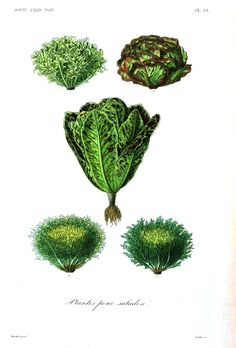 Botanical - Vegetables 8 - Lettuces - Good site with free vintage printables Fruits And Veggies, Vegetables, Miniature Plants, In Season Produce, Love Is Free, Free Prints, Beautiful Space, Botanical Illustration, Botanical Prints