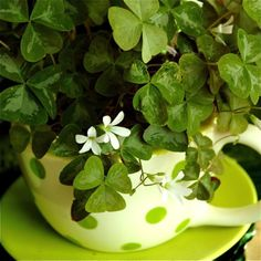 Pictures and Profiles of Great Container Plants and Flowers : Oxalis or Shamrock is a Great Container Garden Plant